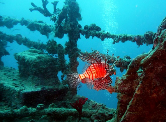 Two colourful tropical red fish in an aunderwater wreck